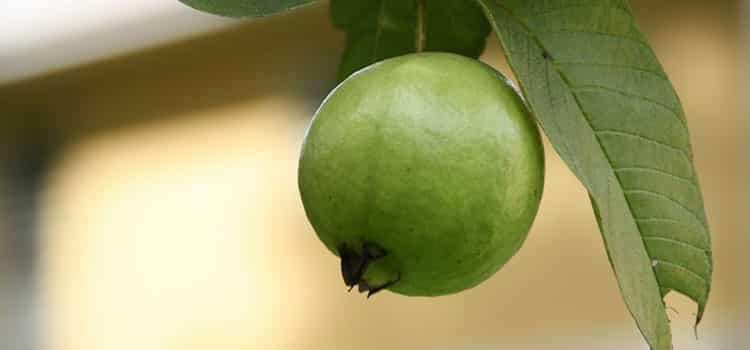 khasiat daun jambu biji untuk mengatasi diare